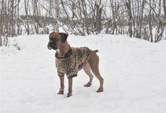 Boxer Dog Ginger in her leopard print winter coat...