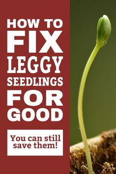Got thin, leggy seedlings? Wondering what's causing the legginess and how to fix it? Discover the most common causes and how to fix leggy seedlings. Learn easy, quick solutions to this common seed starting problem. Grow strong healthy plants instead of leggy seedlings. Click to learn more! #simplysmartgardening #leggyseedlings #seedstarting #gardening