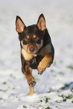 121 Best Kelpie images in 2018 | Dogs, Doggies, Pet dogs