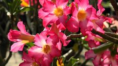 Aprenda como cultivar corretamente a Rosa do Deserto, querida de muitos no Brasil, ela é uma planta relativamente fácil de cultivar! Confira!