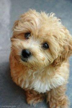 Maltese   Poodle = Maltipoo cute animals sweet dog puppy pets poodle maltese maltipoo by Gliy