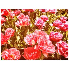 Tulips from Amsterdam Amsterdam Tulips
