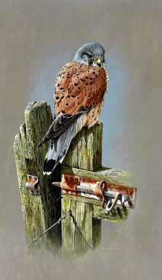 """""""The Gatekeeper (Kestrel)"""" by Terance James Bond. Signed Giclee Print-Strictly Limited to 65 Copies only. Visible Image x Pretty Birds, Beautiful Birds, Watercolor Bird, Watercolor Paintings, Scratchboard Art, Motifs Animal, Bird Drawings, Bird Pictures, Art And Illustration"""