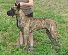 I am absolutely obsessed with Brindle Great Danes.