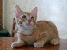 Adorable chaton roux et blanc, Otello