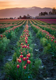 Skagit Valley Dawn in Northwest Washington. THIS is the type of property I'd love to have one day. Keeper of the tulip fields. NO neighbors. Agaves, Beautiful World, Beautiful Places, Tulip Festival, Belle Photo, North West, Beautiful Landscapes, The Great Outdoors, Wonders Of The World