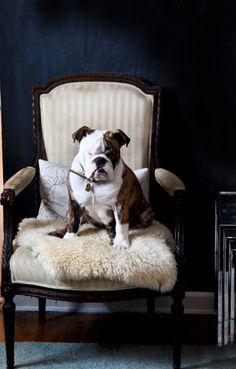 regal bulldog