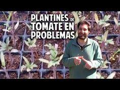 Cosas del Jardin: Hojas violeta en plantines de tomate - olvidate de los Nutrientes