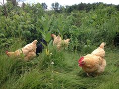 garden hens | My chickens looking for bugs in the backyard at the edge of the field.