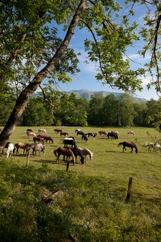 Horses grazing in the fields of Cades Cove.                                                                                                                                                                                 More
