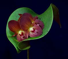 ~~ Pleurothallis oncoglossa ~~ 6 flowers in a single bloom is a record for this…