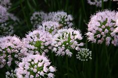 Allium angulosum 'Summer Beauty'. Photo by Northwind customers Larry and Roberta Kamps