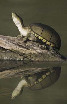 Yellow Mud Turtle (Kinosternon flavescens), sunning on log, Starr County, Rio Grande Valley, Texas, USA. Visit our page here: http://what-do-animals-eat.com/turtles/ #turtles #turtle #petturtle #whatdoturtleseat