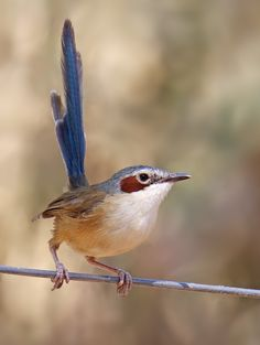 Image result for Purple-crowned fairywren