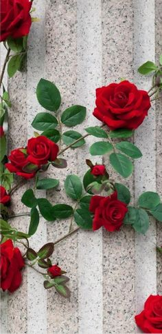 Red Wallpaper, Mobile Wallpaper, Wallpaper Backgrounds, Iphone Wallpaper, Love Flowers, Plant Decor, Beautiful Roses, Cute Wallpapers, Pink Roses