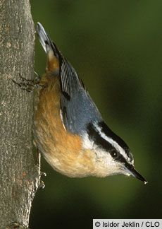 The red-breasted nuthatch is an extremely active little bird that spends most of its life in the northern coniferous forests. It differs from the white-breasted nuthatch by its small size, 4 1/2 inches, is chunkier in appearance, and has red-brown underparts. This nuthatch is the only North American nuthatch with a broad black line through the eye and a white line above it.