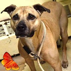 RETURN 01/15/17 TOO ACTIVE --- SAFE --- RETURN 10/20/16 OWN HOSP --- RTO 06/26/2016 --- Staten Island MAXINE – A1078813  SPAYED FEMALE, TAN / BLACK, PIT BULL MIX, 5 yrs OWNER SUR – EVALUATE, NO HOLD Reason TOO STRONG Intake condition UNSPECIFIE Intake Date 06/25/2016,  http://nycdogs.urgentpodr.org/maxine-a1078813/