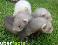 @UberFacts: Baby ferrets are called kits.