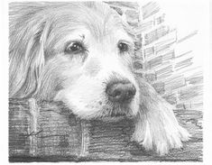 Drawn golden retriever pencil drawing - pin to your gallery. Explore what was found for the drawn golden retriever pencil drawing Animal Drawings, Pencil Drawings, Art Drawings, Dog Pencil Drawing, Pencil Art, Golden Retriever Art, Golden Retrievers, Dog Paintings, Pencil Portrait