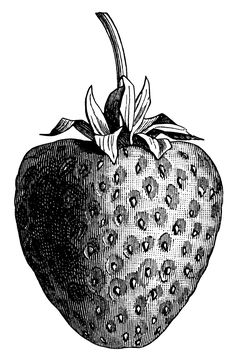 vintage strawberry clip art, black and white graphics, strawberry illustration, printable fruit image, berry digital stamp Mehr Engraving Illustration, Fruit Illustration, Victorian Illustration, Image Fruit, Black And White Prints, White Art, Vintage Pictures, Vintage Images, Decoupage