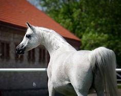 the gorgeous EKSPULSJA ( Gazal Al Shaqab / Elandra ) sold to Shirley Watts for 400.000€. Janow Podlaski 2013.