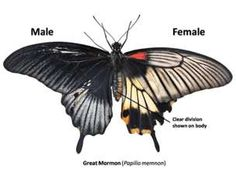 Gynandromorph of a Great Mormon butterfly