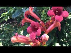 Rozmnażanie Milinu - jak robimy sadzonki? - YouTube Flora, Gardening, Grill, Plants, Youtube, Design, Garden Paths, Cactus, Lawn And Garden