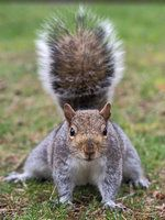 Squirrel 136: Ready to rumble! by EasternGraySquirrel