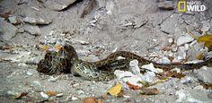 Quand un python réussit à étouffer un congénère aussi grand que lui.