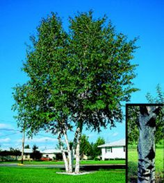 Whitespire Birch Tree~ Pyramid shape with a pure white bark. Leaves turn a brilliant golden yellow in the fall. Garden On A Hill, Shade Trees, Tree Shapes, Realistic Drawings, Trees And Shrubs, Garden Landscaping, Backyard, Leaves, Landscape