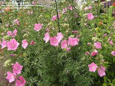 Hollyhock or mallow - edible plants for Leopard Tortoise (all)