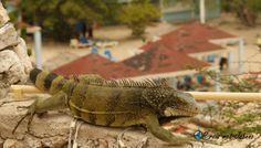 Tip van mijn vakantie op curacao. Leguanen spotten bij Playa Lagun Meet, Animals, Blog, Beach, Animales, Animaux, Animal, Blogging, Animais