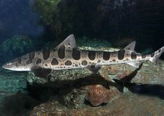 Click here to get best gear to catch leopard sharks from the surf.