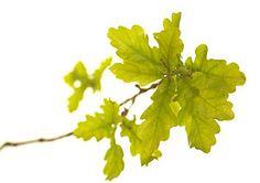 oak-fiori-di-bach