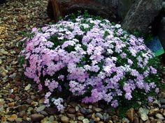 U bent op zoek naar een Phlox douglasii 'Lilac Cloud' (vlambloem)? Tuincentrum Maréchal! ✔ Eigen kwekerij ✔ LAGE prijzen ✔ Uitgebreide planteninformatie