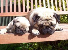 Sunny pug cuddles