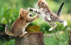 Cats Animal Wallpaper