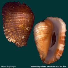 Strombus galeatus Swainson 1823 Gerontic  -  K Sangiouloglou
