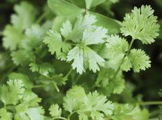 Koriander pflanzen: Gewürz- und Heilpflanze aussäen