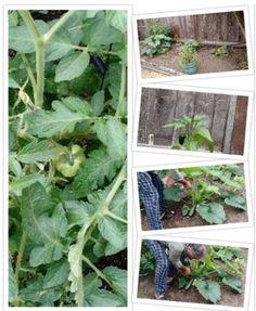 First harvest Online Entrepreneur, No Time For Me, Harvest, Garden, Plants, Lawn And Garden, Gardens, Plant, Outdoor
