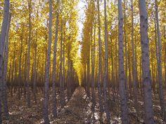 Hybrid Poplar trees this cottonless hybrid is a cross between an Eastern Cottonwood and a European Black Poplar.