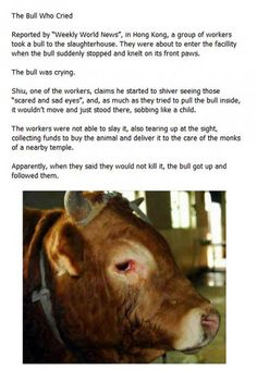 The Bull Who Cried…