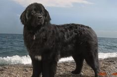 Terra Nova foto magnífico cão de raça
