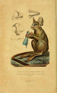ooksaidthelibrarian:  n321_w1150 by BioDivLibrary on Flickr. Via Flickr: Compléments de Buffon. t.1. Paris :P. Pourrat Frères,1838.biodivers...