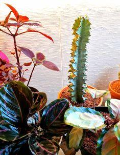 Esittelyssä lyhtytyräkki Euphorbia Eritrea variegata.