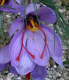 The flower of Saffron Crocus [Crocus sativus] is large and showy. The three pronged style and stigmata are an exceptional feature of this flower and the source of saffron spice.