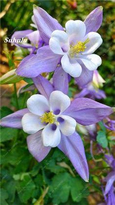 50 Pcs European Columbine Seeds Aquilegia Vulgaris Rare Bonsai Beautiful Flower Seeds For Home Garden Perennial Plants. Mixed
