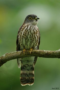 Hodgson's Hawk-Cuckoo, Cuculus fugax (front view)