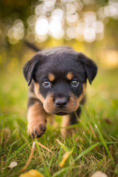 BlackPepperPhotos — ROTTWEILER PUPPIES! I love my hobby, esp. when I...
