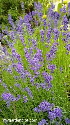 Growing Lavender, Lavender Plants, Lavender Garden, Outside Fall Decorations, Flower Landscape, Plantar, Autumn Garden, Edible Garden, Flower Beds